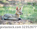 wildlife fox cape 32352677