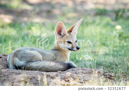 Cape fox laying down in the sand. 32352677