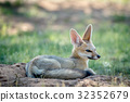 wildlife fox cape 32352679