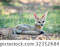 wildlife fox cape 32352684