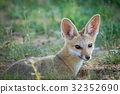 wildlife fox cape 32352690