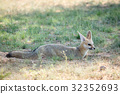 旅行 野生生物 狐狸 32352693