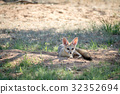 wildlife fox cape 32352694