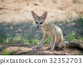 wildlife fox cape 32352703