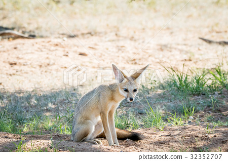 Cape fox sitting down in the sand. 32352707