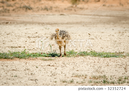 Ostrich chick walking in the sand. 32352724