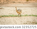 Ostrich chick walking in the sand. 32352725