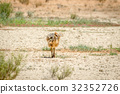 Ostrich chick walking in the sand. 32352726