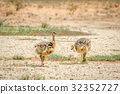 Ostrich chicks walking in the sand. 32352727