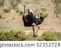 Male Ostrich displaying in the sand. 32352728