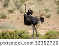 ostrich bird wild 32352729