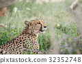 Side profile of a Cheetah in the grass. 32352748