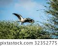 Secretary bird in a tree in the Kalagadi. 32352775