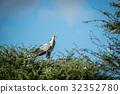 Secretary bird in a tree in the Kalagadi. 32352780
