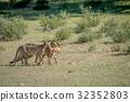 Three Cheetahs on a Springbok kill. 32352803