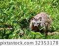 [동물] 홍도타누키 (4) 32353178