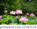 lotus, sacred lotus, kyoto 32362535