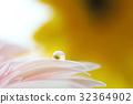 Gerbera flowers with raindrop 32364902