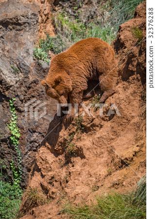 Brown bear climbs down steep red rock 32376288