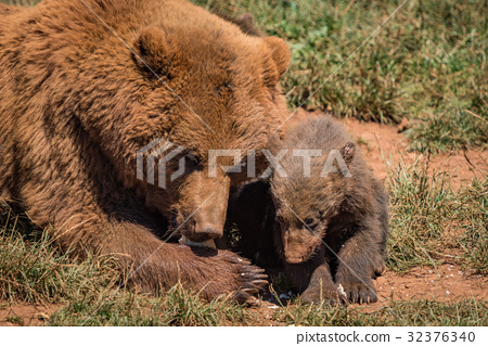 Close-up of brown bear mother and cub 32376340