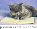 A blue british cat wearing glasses reading book 32377740