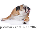 English bulldog isolated 32377987