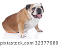 English bulldog isolated 32377989