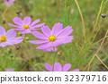 코스모스 밭 가와구치 32379716