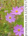 코스모스 밭 가와구치 32379717