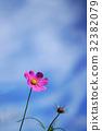 秋晴れに咲くコスモス 32382079
