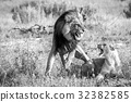 Two Lions busy mating in black and white. 32382585