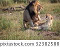 Two Lions busy mating in the grass. 32382588