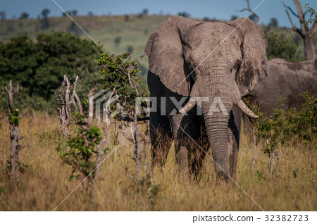 An Elephant starring at the camera. 32382723