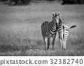 zebra,safari,black 32382740
