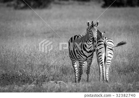 Two Zebras bonding in black and white. 32382740