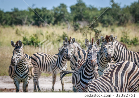 A herd of Zebra starring at the camera. 32382751