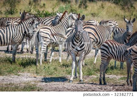 Several Zebras bonding in the grass. 32382771