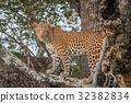 A Leopard walking on a branch in a tree. 32382834