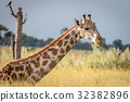 A Giraffe sitting in the grass. 32382896