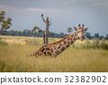 A Giraffe sitting in the grass. 32382902
