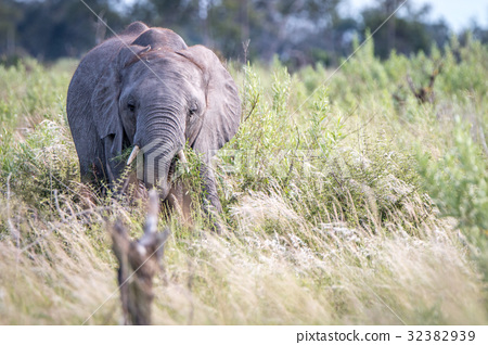 A young Elephant starring at the camera. 32382939