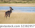 wildlife, kudu, mammal 32382957