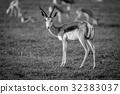 Springbok standing in the grass. 32383037