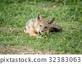 豺 野生生物 动物 32383063