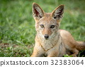 Black-backed jackal starring at the camera. 32383064