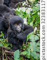 Close up of a baby Mountain gorilla. 32383117