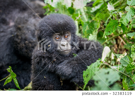 Close up of a baby Mountain gorilla. 32383119