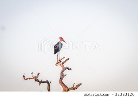 Marabou stork standing in a dead tree. 32383120
