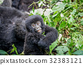 Close up of a baby Mountain gorilla. 32383121