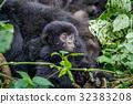山峰 大猩猩 叢林 32383208